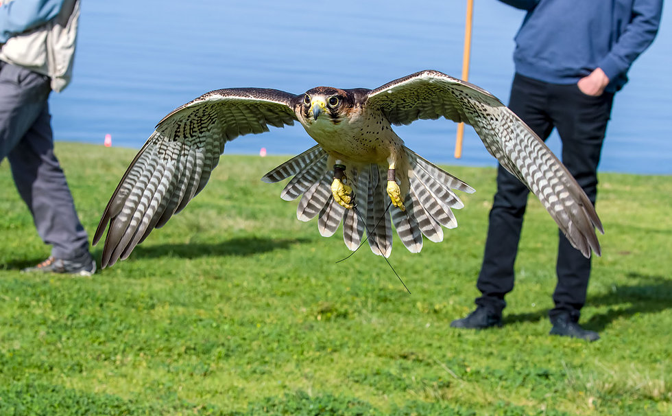 Falconry at Torrey Pines Gliderport: One of La Jolla's Best